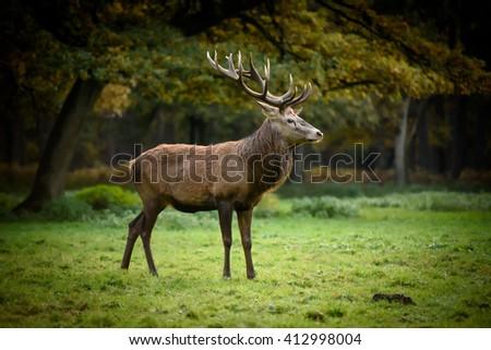 Red deer (cervus elaphus) on grassland. Male, mature stag, big antlers, rut. #412998004