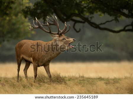 Red deer (Cervus elaphus) roaring during the rut #235645189