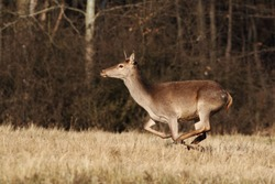 Red deer, cervus elaphus, running on dry meadow in autumn nature. Wild hind in movement on field in fall wilderness. Brown female mammal sprinting on pasture.