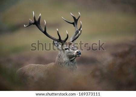 Red deer, Cervus elaphus, single male, UK #169373111