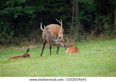 Red deer, Cervus elaphus, stag and doe kissing in wilderness with copy space. Parent mammals with young nearby. Concept of proximity and togetherness of animals. #1502054645