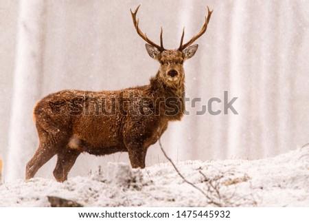Red deer (Cervus elaphus) stags in the snow, Scottish Highlands #1475445932