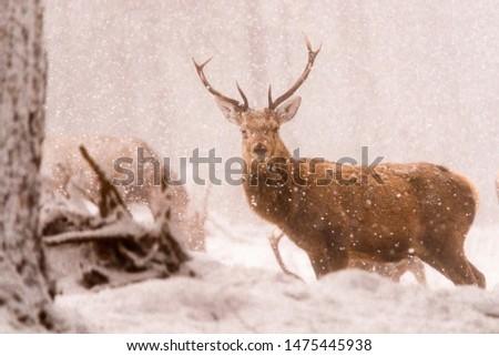 Red deer (Cervus elaphus) stags in the snow, Scottish Highlands #1475445938