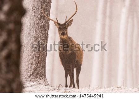Red deer (Cervus elaphus) stags in the snow, Scottish Highlands #1475445941