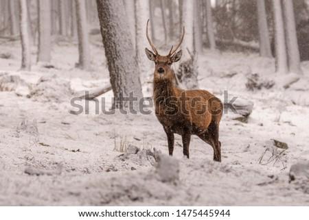 Red deer (Cervus elaphus) stags in the snow, Scottish Highlands #1475445944