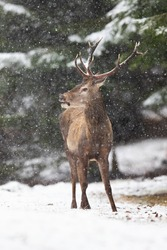 Red deer, cervus elaphus, standing in forest during winter snowstorm. Horizontal composition of wild stag observing in snowy woodland while snowing. Antlered mammal staring aside in white nature.