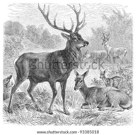 Red deer (Cervus Elaphus) / vintage illustration from Meyers Konversations-Lexikon 1897