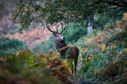 Red deer (Cervus Elpahus) encounter on woodland path at dawn with autumn colours. Young stag during the rut. Wild animal in natural environment. Image
