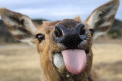 Red deer close up sticking out tongue. Red deer nose.