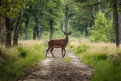 Red deer crossing a sand path in the middle of a forest in a wildlife park, the Veluwe, The Netherlands