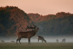 Red Deer. Deer males are characterized by their loud trumpeting during heat.