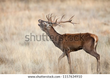 Red Deer, Deers, Cervus elaphus - Rut time, stag, Red deer roaring