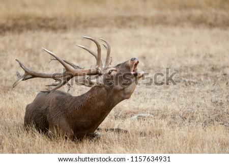 Red Deer, Deers, Cervus elaphus - Rut time, stag, Red deer roaring #1157634931