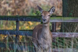 Red Deer Doe alert and watching the photographer during the Autumnal Rutting Season, United Kingdom