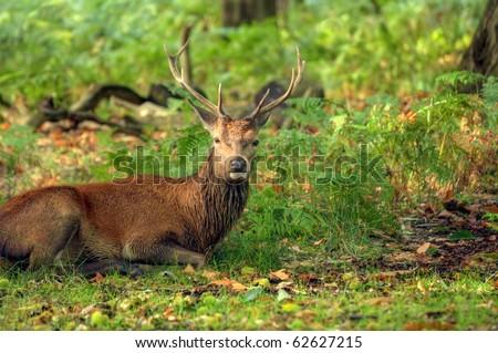 Red deer during rut season in October, Autumn, Fall