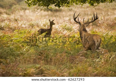Red deer during rut season in October, Autumn, Fall