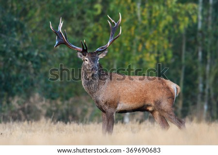 Red Deer (Elk) stag in the natural environment. #369690683