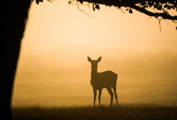 Red deer hind at dawn, looking for the rest of the herd