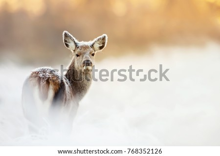 Red Deer hind covered with frost and snow during sunrise, UK. Animals on a cold  winter morning and the first golden light.