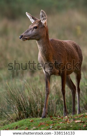 Red Deer Hind in long grass at the edge of forest/Red Deer Hind/Red Deer Hind (cervus elaphus)