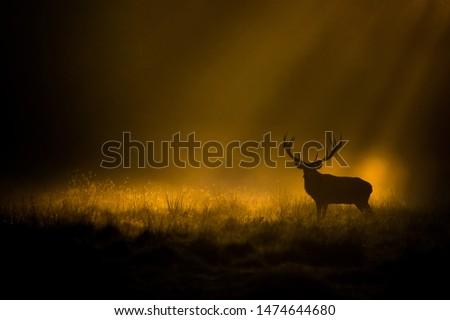 Red deer in a foggy mornig.