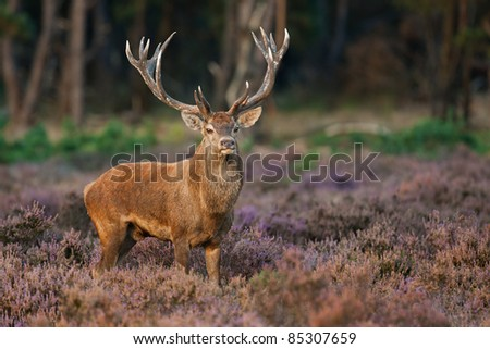 Red Deer in evening Sun.