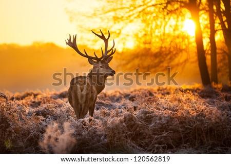 stock photo red deer in morning sun 120562819 - Каталог — Фотообои «Животные»