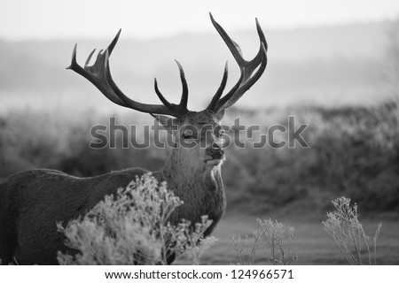 Red deer in Richmond park #124966571
