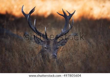 Red deer in tall grass #497805604