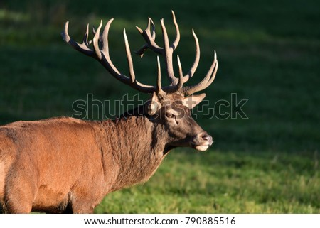 red deer in the evening sun #790885516