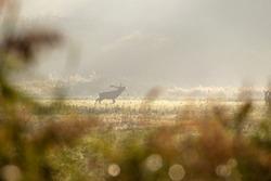 Red deer in the Lelystad Nature Park, the Netherlands