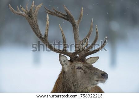 Red deer male head portrait, winter, (cervus elaphus) #756922213