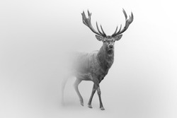 Red deer nature wildlife animal walking in a fog background