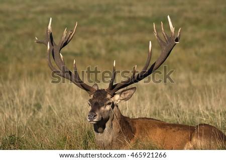 Red deer old stag #465921266
