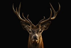 Red deer portrait on black background.