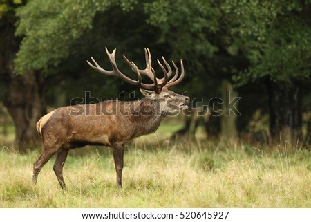 Red deer - Rutting season #520645927