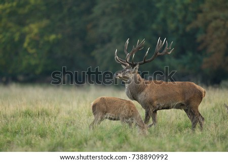 Red deer - Rutting season #738890992