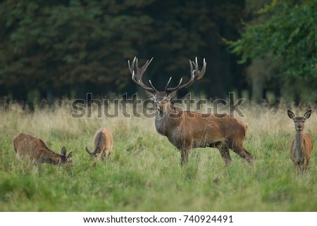 Red deer - Rutting season #740924491