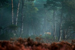 Red deer, rutting season, Hoge Veluwe,  Netherlands. Deer stag, majestic powerful adult animal in fog, foggy forest habitat,  Wildlife scene from nature. Heath Moorland, autumn animal behavior.