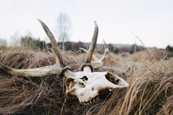 Red deer skull with antlers on the dry grass. Prey of wild wolves. Dead wild animal in national park.