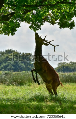 Red deer stag, Cervus elaphus #723350641