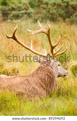 Red Deer Stag (cervus elaphus) at rest / Red deer resting in field after eating