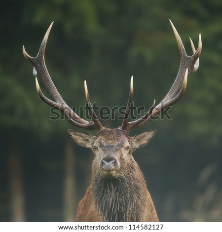 Red deer stag, close-up - stock photo