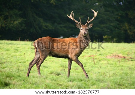 Red deer stag during the Rut, UK