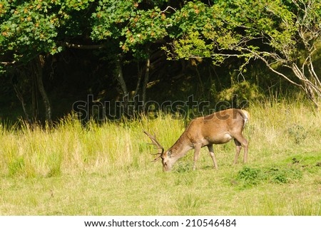 Red deer - stag feeding at the edge of a forested area