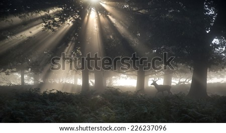 Red deer stag illuminated by sun beams through forest landscape on foggy Autumn Fall morning