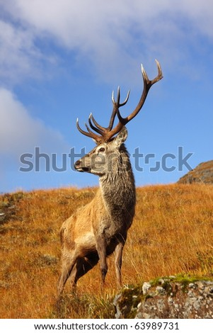Red Deer Stag in Autumn.