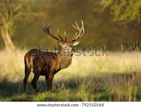 Red deer stag in autumn, England, UK #792550564