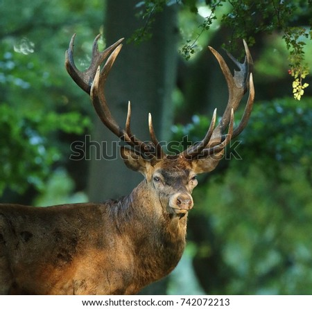 Red deer Stag In autumn started the deer rut  #742072213