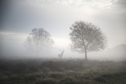 Red deer stag in foggy Autumn landscape